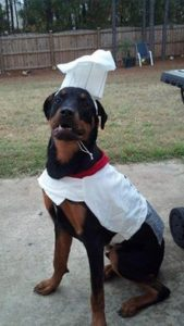 Rottweiler in a chef's hat